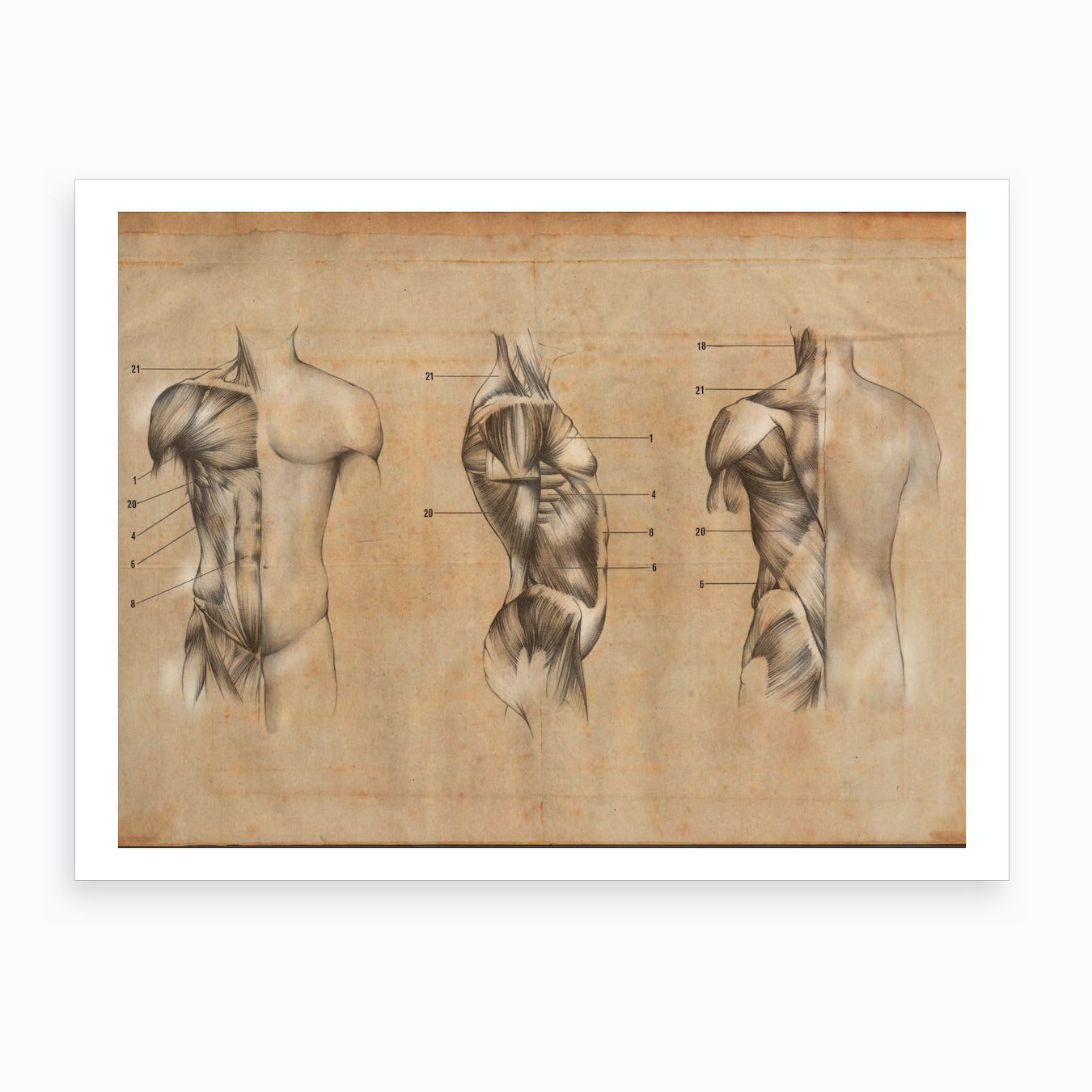 Vintage Anatomy Muscle Body Art Print By Science Images Fy