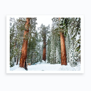 Giant Sequoia Forest Art Print