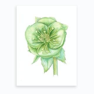 Verde Hellebore Art Print