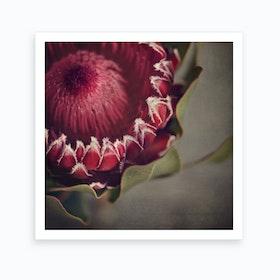 Red Protea 4 Art Print