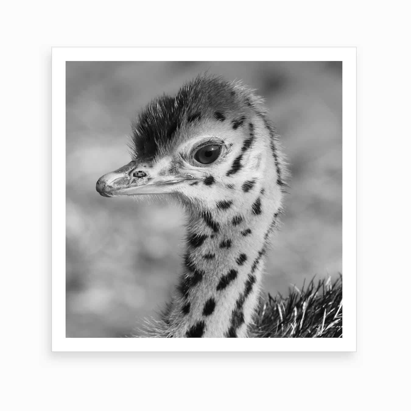 Baby Ostrich Ii Art Print