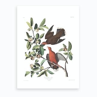 Zenaida Dove Art Print