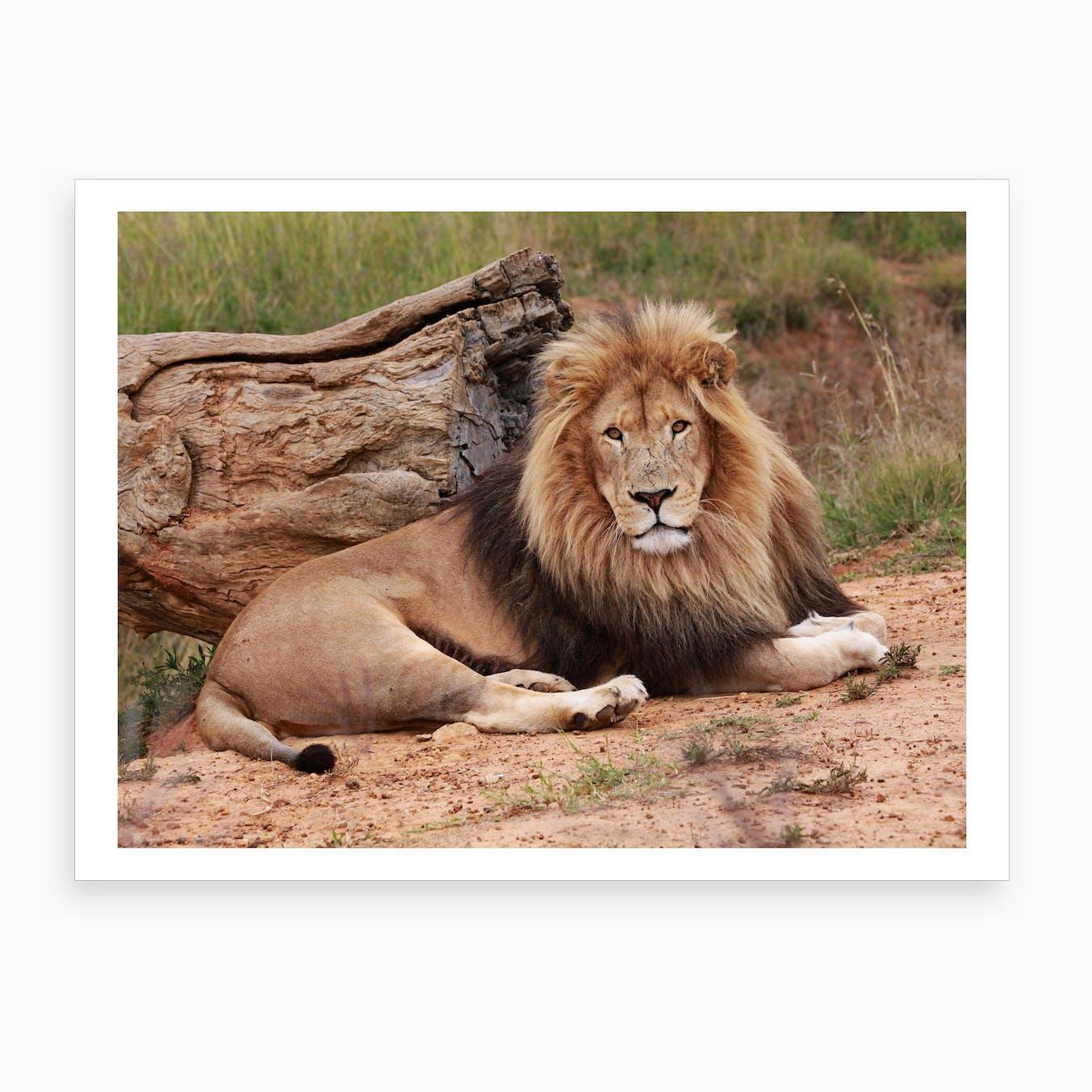 Lion Male II Art Print