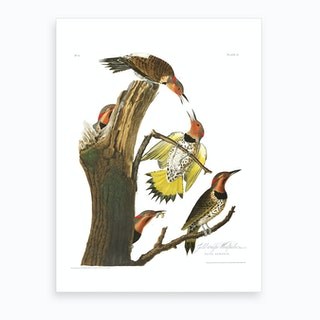 Gold Winged Woodpecker Art Print
