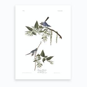 Bluegrey Flycatcher Art Print