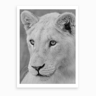 Young White Lion Art Print