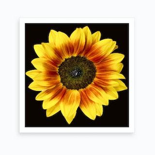 Mahogany Sunflower Square Art Print