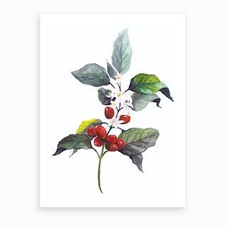Botanical Illustration   Coffea Arabica Art Print