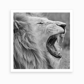 White Lion Yawning Square Art Print