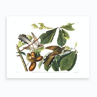 Yellow Billed Cuckoo Art Print