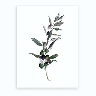Botanical Illustration   Olea Europaea Art Print