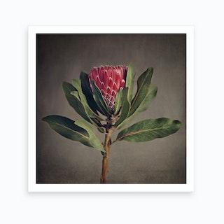 Red Protea 5 Art Print