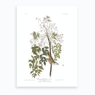 White Eyed Flycatcher Art Print