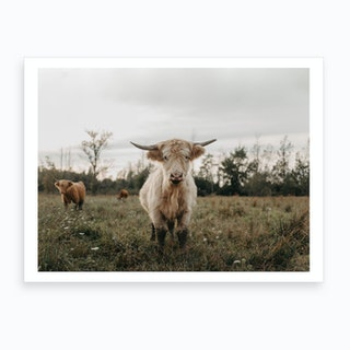 Highland Cows In The Meadow Art Print