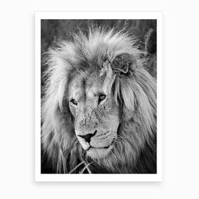 Lion Male Art Print