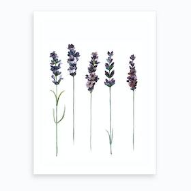 Botanical Illustration   Lavendula Angustifolia Art Print
