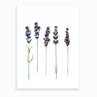 Botanical Illustration   Lavendula Angustifolia Art Print