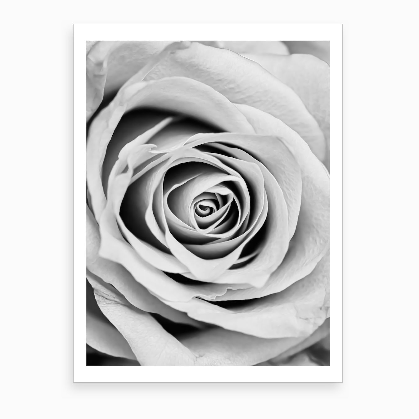Black and white rose art print by hecetu