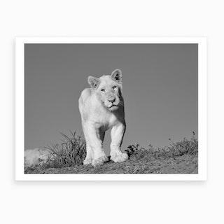 Young White Lion Art Print