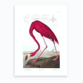 American Flamingo I Art Print