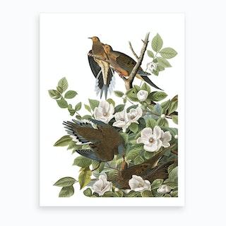 Carolina Pigeon Art Print