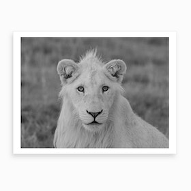 Young White Lion Male Art Print