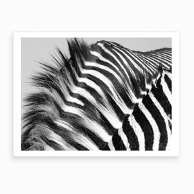 Two Zebra Males Art Print