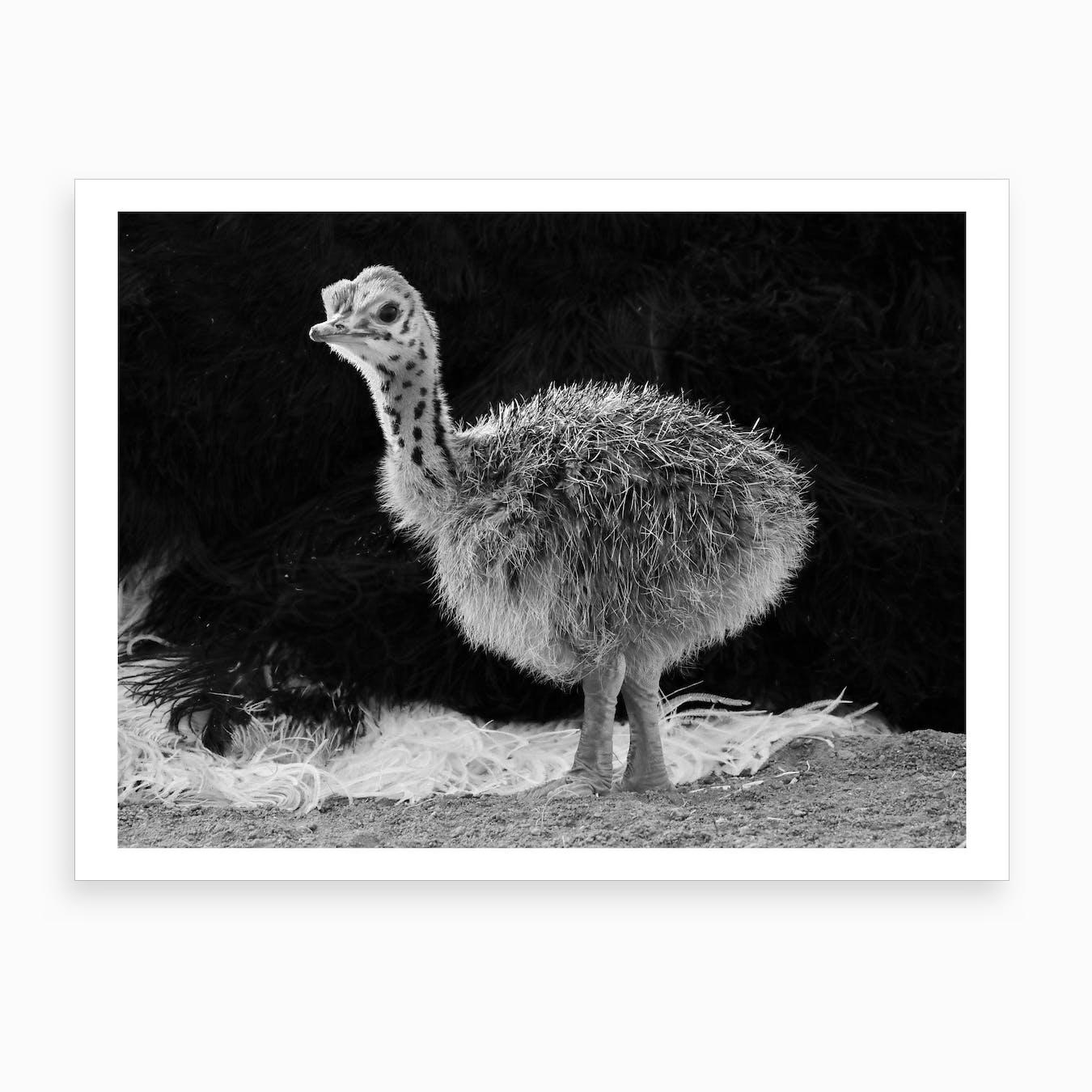Ostrich Baby Art Print