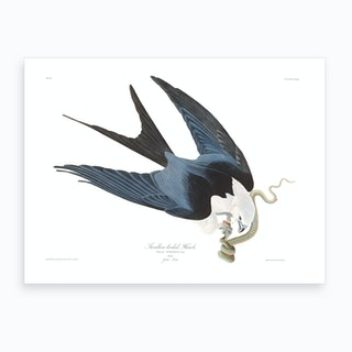 Swallow Tailed Hawk Art Print