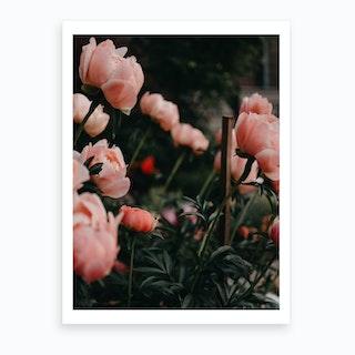 Coral Peonies Art Print
