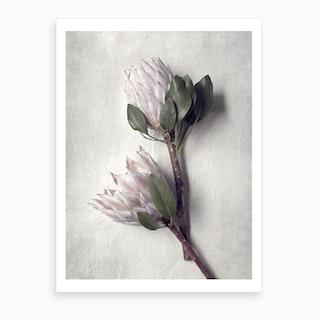 Pale Proteas 6 Art Print
