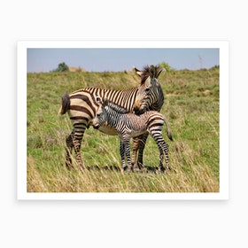 Zebra Mother With Baby Art Print