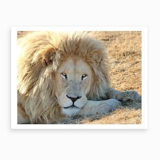 White Lion Male II Art Print