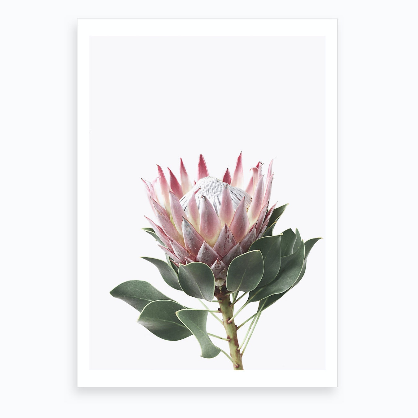 Protea Art Print By Sisi And Seb Fy