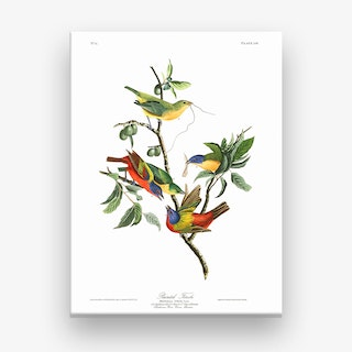 Painted Finch Canvas Print