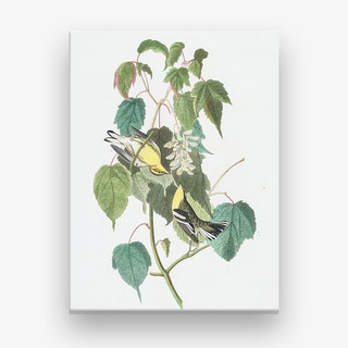 Hemlock Warbler Canvas Print